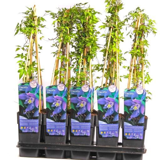 Clematis alpina (Hoogeveen Plants)