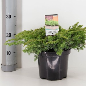 Juniperus conferta 'Schlager' (Bremmer Boomkwekerijen)