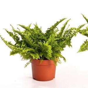 Nephrolepis exaltata 'Vitale' (Bunnik Plants)