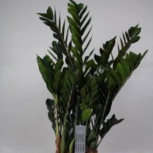 Zamioculcas zamiifolia SUPER NOVA