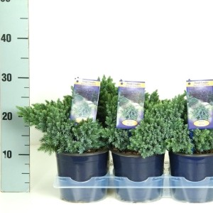 Juniperus squamata 'Blue Star' (Kwekerij Vredebest)