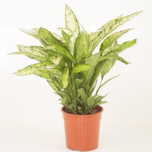 Dieffenbachia 'Vesuvius' (Ammerlaan, The Green Innovater)
