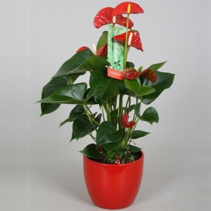 Anthurium SIERRA (Postplants)