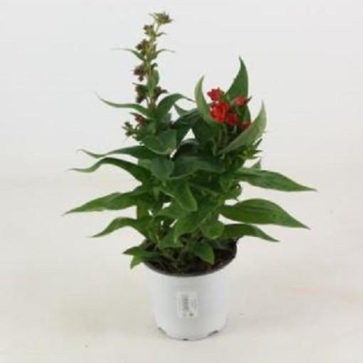 Penstemon barbatus 'Picotee Red' (Experts in Green)