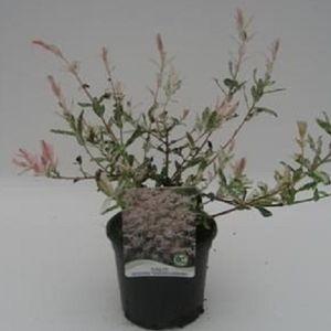 Salix integra 'Hakuro-nishiki' (WTM de Boer)