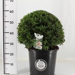 Ilex crenata 'Blondie' (Oprins Plant)