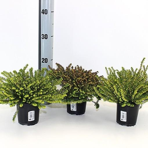 Erica x darleyensis MIX (Experts in Green)