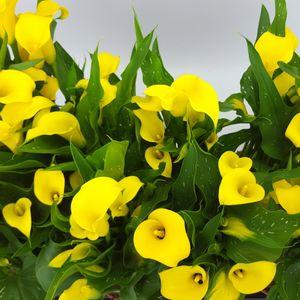 Zantedeschia 'Sunclub' (BB Plant)