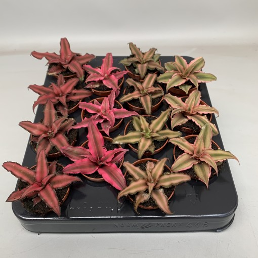Cryptanthus MIX (Hkw. van der Velden)