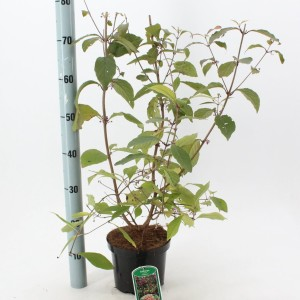 Callicarpa bodinieri 'Profusion' (About Plants Zundert BV)