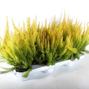 Erica arborea 'African Gold' (Experts in Green)