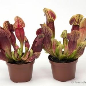 Sarracenia purpurea 'Dracula'