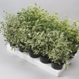 Ficus benjamina MIX (Gasa DK)