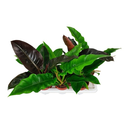 Philodendron MIX (BB Plant)