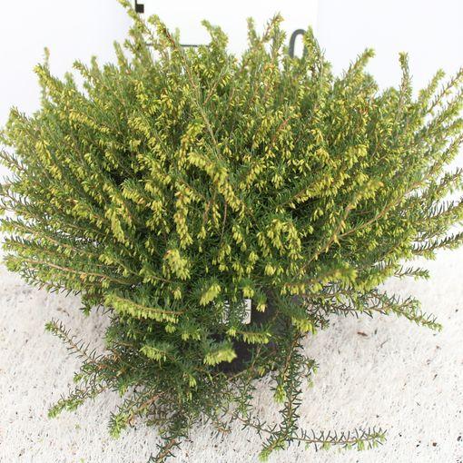 Erica x darleyensis 'Darley Dale' (Experts in Green)