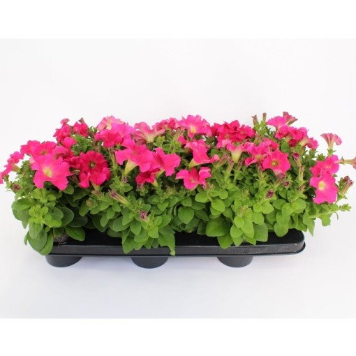 Petunia CANDY PINK RAY (Sonneveld Plants)