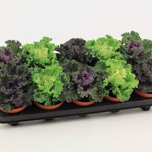 Brassica oleracea MIX (Valk bv, van der)