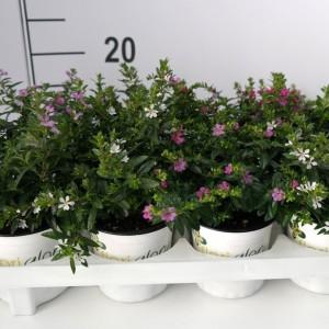 Cuphea hyssopifolia FLORIGLORY MIX
