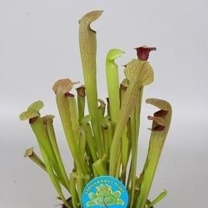 Sarracenia minor (Stricker Plants)