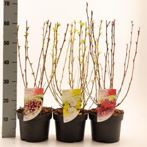 Physocarpus opulifolius MIX