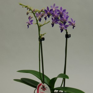 x Doritaenopsis Purple Gem 'Aida' (Wichmann Orchideen e.K.)