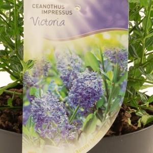 Ceanothus impressus 'Victoria' (Dool Botanic)