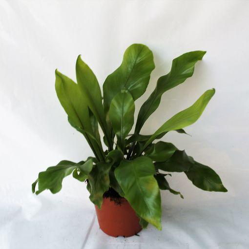 Asplenium nidus (Ruhé Varens B.V.)