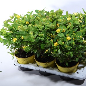 Hypericum androsaemum MAGIC MARBLES MIX