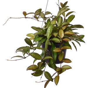 Hoya 'Rosita'