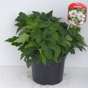 Anemone hupehensis MIX (Experts in Green)