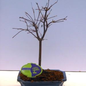 Acer palmatum 'Beni-maiko'