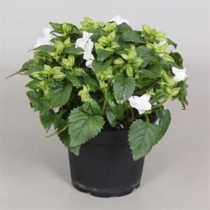 Torenia fournieri MIX (Glorious Gloriosa)
