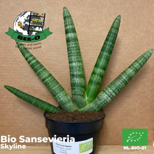 Sansevieria cylindrica 'Skyline' (Bee-O)
