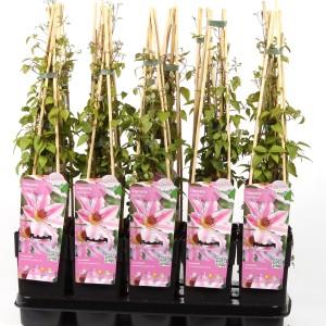 Clematis 'Nelly Moser' (Hoogeveen Plants)