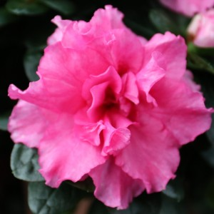 Rhododendron 'Rose Vogel' (De Bruyne - Flandresse)