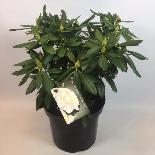 Rhododendron 'Madame Masson' (Rijnbeek Boomkwekerijen B.V.)