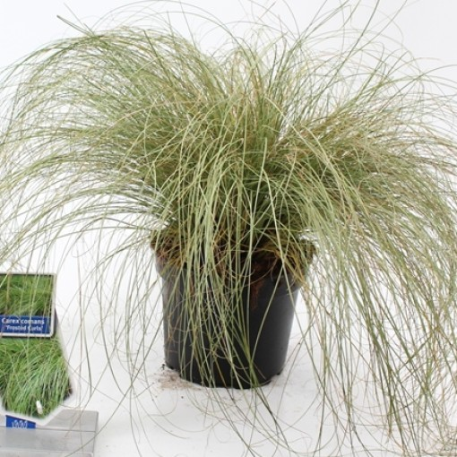 Carex comans 'Frosted Curls' (About Plants Zundert BV)