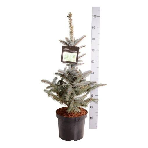 Picea pungens 'Fat Albert' (Boomkamp Boomkwekerijen B.V.)