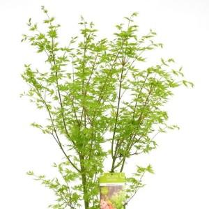 Acer palmatum 'Going Green' (Son & Koot BV)