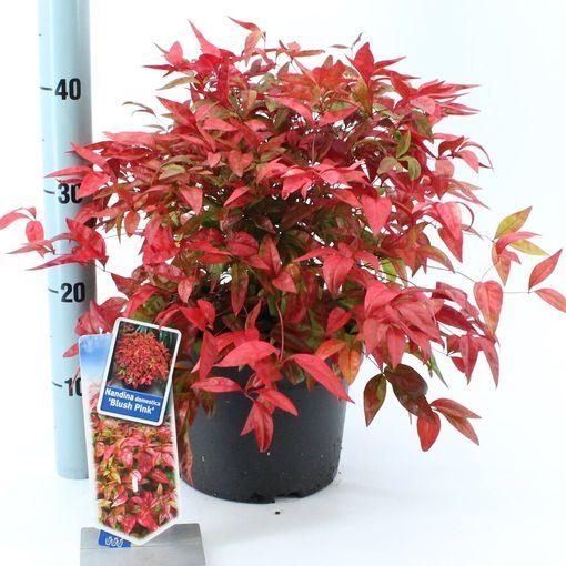 Nandina domestica BLUSH PINK (About Plants Zundert BV)