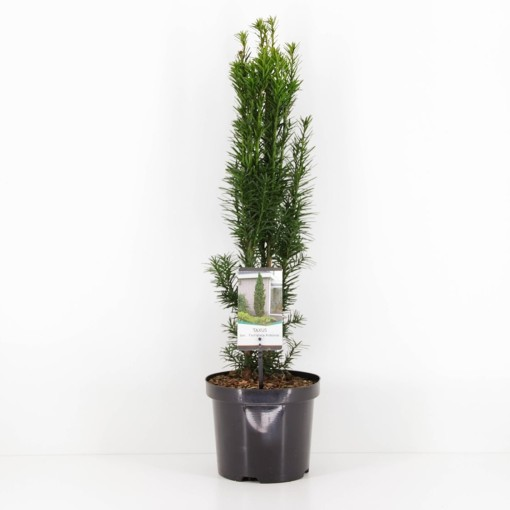Taxus baccata 'Fastigiata Robusta' (Bremmer Boomkwekerijen)