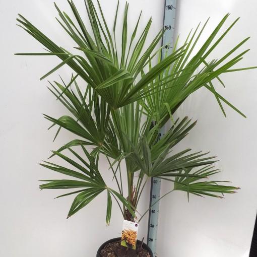 Trachycarpus fortunei (Specials-1)