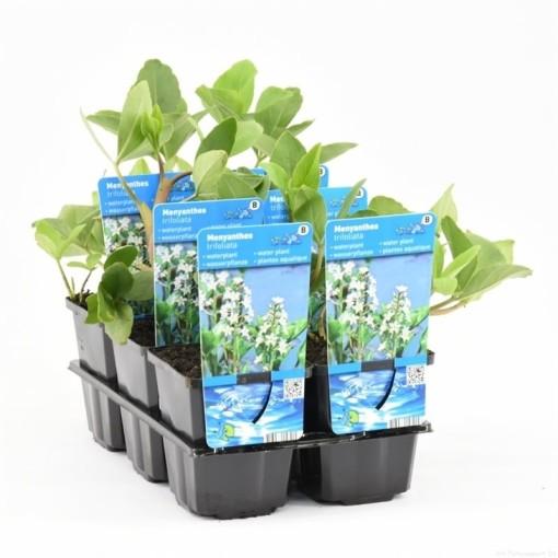 Menyanthes trifoliata (Moerings Waterplanten)
