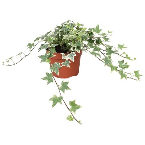Hedera helix 'Eva' (Vireõ Plant Sales)