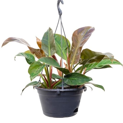 Philodendron 'Imperial Red' (Nieuwkoop Europe B.V.)