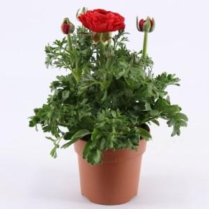 Ranunculus asiaticus 'Sprinkles Red' (Montis Zuidplas B.V., Kwekerij)