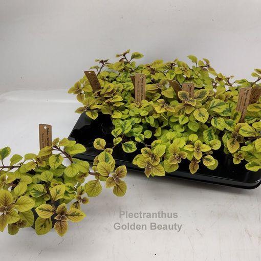 Plectranthus 'Golden Beauty' (Hofstede Hovaria)
