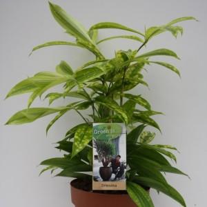 Dracaena surculosa 'Mike' (Vireõ Plant Sales)