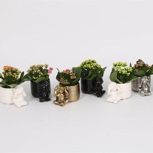 Kalanchoe blossfeldiana PERFECTA MIX (Bunnik Plants)