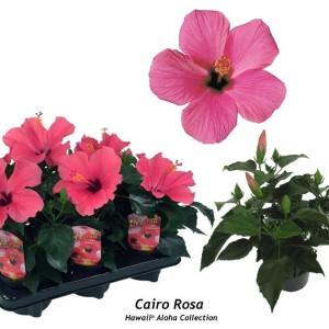 Hibiscus rosa-sinensis 'Cairo Rosa'